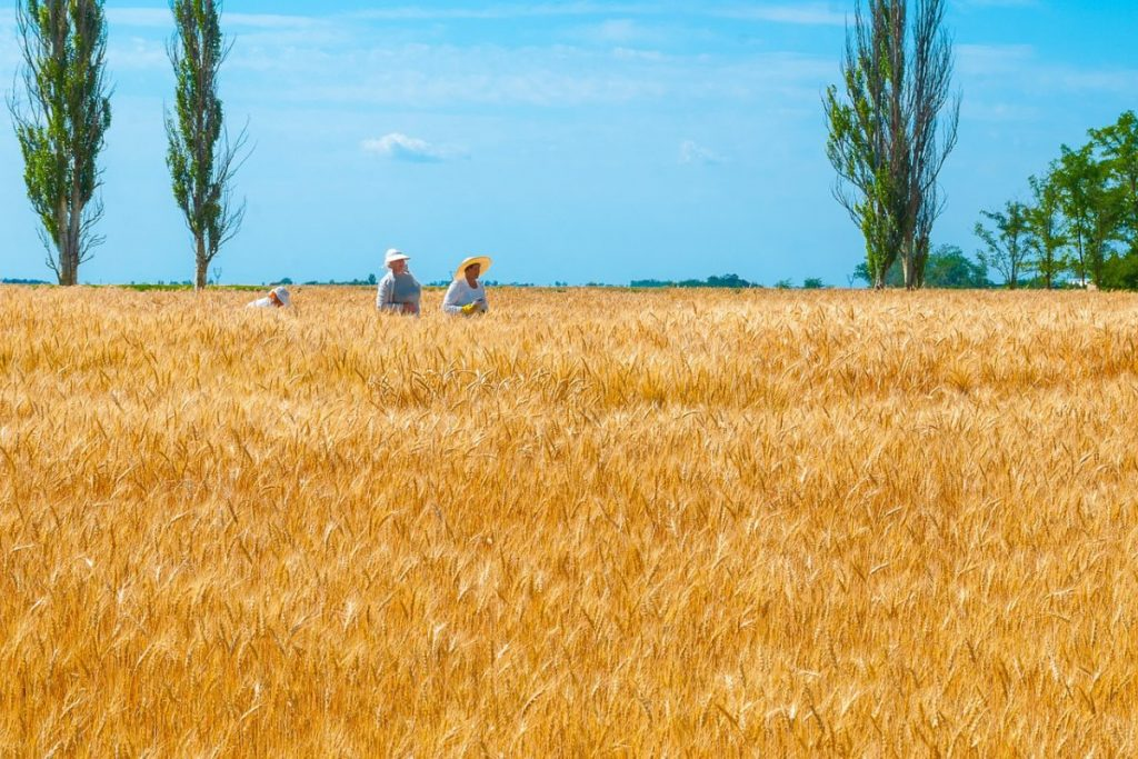 ukraine-wheat-field-1200x800